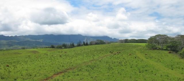 Grass fed beef grazing on a Kauai farm